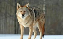 第3代土狼在转速升至3,000以上时通过四根尖头咆哮